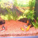 ribice raziskujejo novo nastalo čistino v akvariju.