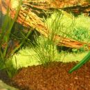 Potamogeton octandrus - Podvodni dristavec (če si bo pa tale opomogel ...)