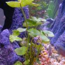Banana plant v akvariju