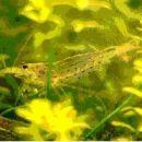 Cardina Japonica - Navadna sladkovodna kozica