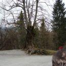 500 let stara lipa ,ki jo je France Prešeren videl kod hrast , na Turjaku,ko  je napisal T