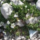 SLIKA  1   rože ,ki rastejo  pod ledenikom  FEDAIA MARMOLADA   prav tako slika 2 IN 3
