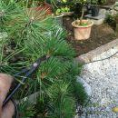 Obrezovanje novih brstov na boru