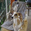 Lovely whippet females Royal Standard (Cocco) in the front and Roso di Sera (Sara) in the