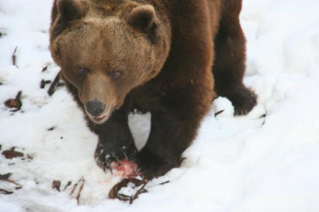 Jem... Še pes, pradon medved, ima rad pri jedi mir!  Canon Powershot A 75