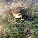 Prava radovedna tunizijska žabica ;)   Canon Powershot A 75