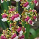 Orhideje iz razstave orhidej in metuljev