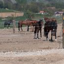 Konji v izpustu