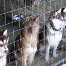 Psi, ki vlečejo sanke