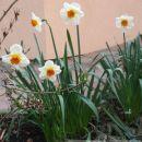 Narcissus - Narcisa Avtor: Roža rastline.mojforum.si