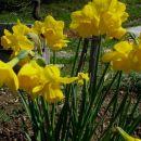 Narcissus - Narcisa(dišeča)      Avtor: Gretka* rastline.mojforum.si