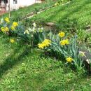 Narcissus - Narcisa Avtor: arena rastline.mojforum.si