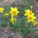 Narcissus - Narcisa Avtor: Gretka* rastline.mojforum.si