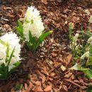 Muscari - Grozdek, hrušica Avtor: Gretka* rastline.mojforum.si