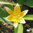 Tulipa - Tulipan        Avtor: zupka           rastline.mojforum.si