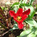 Tulipa - Tulipan Avtor: muha rastline.mojforum.si
