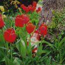 Tulipa - Tulipan    Avtor: katrinca              rastline.mojforum.si