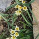 Tulipa - Tulipan    Avtor:Gretka*          rastline.mojforum.si