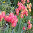 Tulipa - Tulipan    Avtor: nsns         rastline.mojforum.si