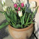 Tulipa - Tulipan    Avtor: Tamara      rastline.mojforum.si