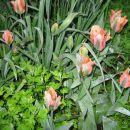 Tulipa - Tulipan    Avtor: potonka         rastline.mojforum.si