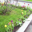 Tulipa - Tulipan    Avtor: babaco rastline.mojforum.si