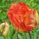Tulipa - Tulipan Avtor: Gretka* rastline.mojforum.si
