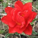 Tulipa - Tulipan Avtor: linda rastline.mojforum.si