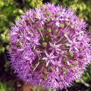 Allium giganteum - Luk     Avtor: zupka  rastline.mojforum.si