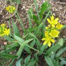 Allium Moly  Avtor: Gretka*  rastline.mojforum.si