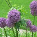 Allium - Luk Avtor: Gretka*  rastline.mojforum.si