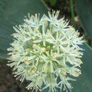 Allium karataviense 'Ivory Queen'   Avtor: zupka  rastline.mojforum.si