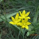 Allium - Luk Avtor: linda rastline.mojforum.si