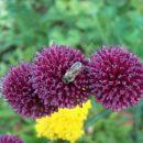 Allium - Luk Avtor: katrinca rastline.mojforum.si