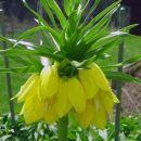 Fritillaria - Logarica Avtor: zupka rastline.mojforum.si