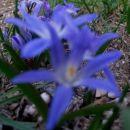 Chionodoxa - Hionodoksa, snežna modrica Avtor: Gretka* rastline.mojforum.si
