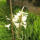 Lilium - Lilija Avtor: magnolija rastline.mojforum.si