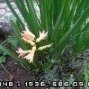 Hyacinthus - Hijacinta Avtor: romana rastline.mojforum.si