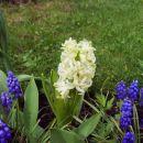 Hyacinthus - Hijacinta Avtor: babaco rastline.mojforum.si