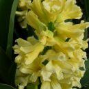 Hyacinthus - Hijacinta Avtor: Gretka* rastline.mojforum.si