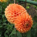 Dahlia – dalija, regina, reginka, georgina Avtor: linda rastline.mojforum.si