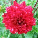 Dahlia – dalija, regina, reginka, georgina Avtor: Gretka* rastline.mojforum.si