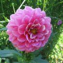 Dahlia – dalija, regina, reginka, georgina Avtor: magnolija rastline.mojforum.si