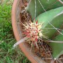 Ferocactus herrerae(posebnost) Avtor: primozc rastline.mojforum.si