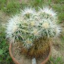 Echinocactus grusonii var. albispinus (Posebnost) Avtor: primozc rastline.mojforum.si