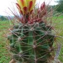 Ferocactus  hamatacanthus  Avtor: primozc rastline.mojforum.si