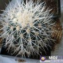 Echinocactus grusonii alba Avtor: Leon56 rastline.mojforum.si