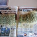 In nož je zarezal. Odrežemo ravno pravokotno na kaktus. Najbolj se obnese olfa nož, katere