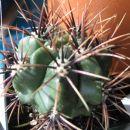 Gymnocalycium achirasense v. chacrasense Avtor: Leon56 rastline.mojforum.si