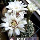 Gymnocalycium knebelii  Avtor: Leon56 rastline.mojforum.si